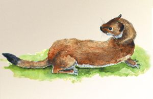 Stoat by abovecreative