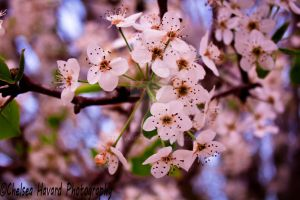 Blossoms by cehavard90