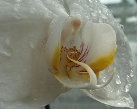 Watered Orchid 2 by BloodiedGypsy