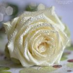 White rose with water drops by FrancescaDelfino
