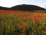 Stock- Poppy field 2 by Zuzu136