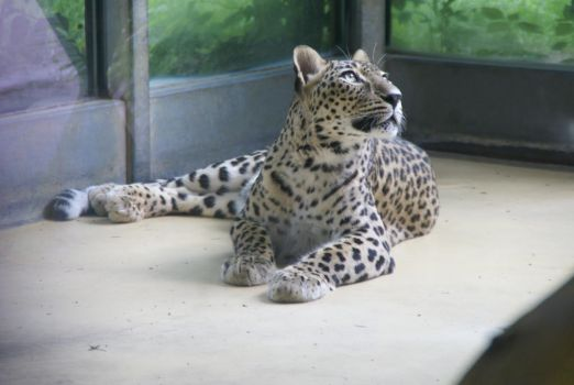 Leopard I by silver80