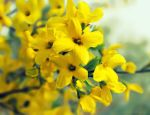 Jasminum nudiflorum 2 by Sophie-Y