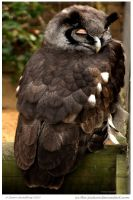 Milky Eagle Owl by In-the-picture