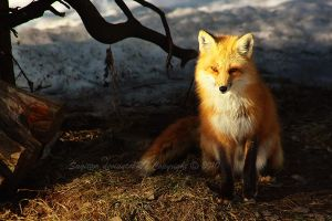 Red Fox by Sagittor