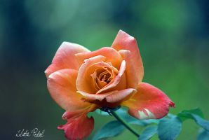 my beutiful rose by Zlata-Petal