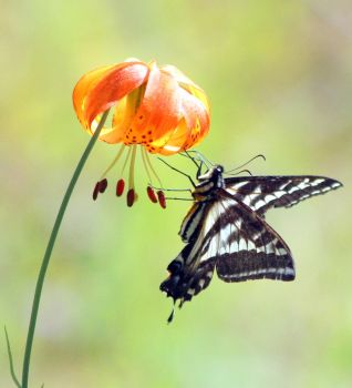 Butterfly on leopard lily by iris059