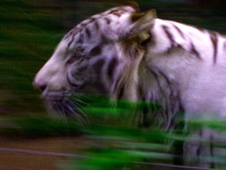 White Tiger by hopikey23