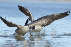 Canada Goose - The Spat by JestePhotography