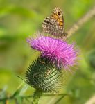 Foraging on a thistle I by starykocur