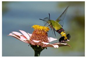 Hummingbird Moth (8) by kiew1