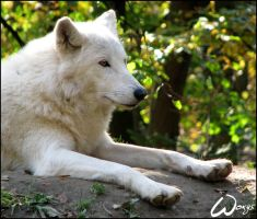 Arctic wolf: no sunbathing by woxys