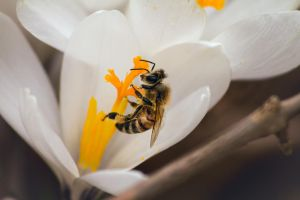 Fuzzy Little Honey Bee by ViridianRoses