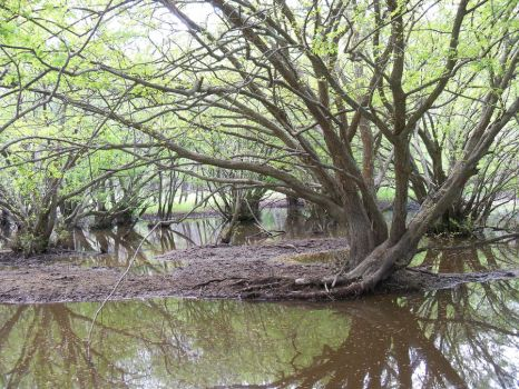 Under the Swamp Canopy by austringer