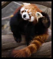 red panda: oh no, it itches by morho