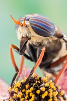 Horse fly by ColinHuttonPhoto