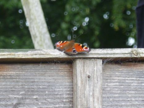 Peacock Butterfly on Top of Fence 2 by Captain-Art-hero