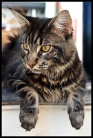 Oana Maine Coon by AliS1984