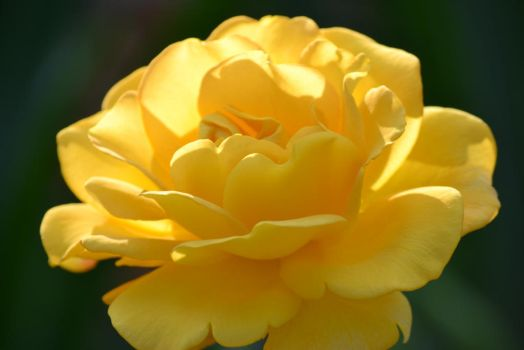 Yellow rose II by db-wc