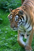 Warning, Shere Khan is coming by MorganeS-Photographe