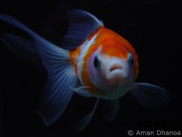 Pearlscale Goldfish by Aman-Dhanoa