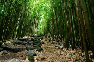 Bamboo Forrest by andyrogers