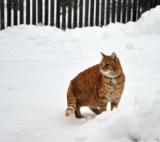 Pretending to be a Siberian tiger by Catticat