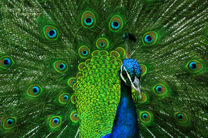 Indian Peafowl-8219 by Christina-Phillips